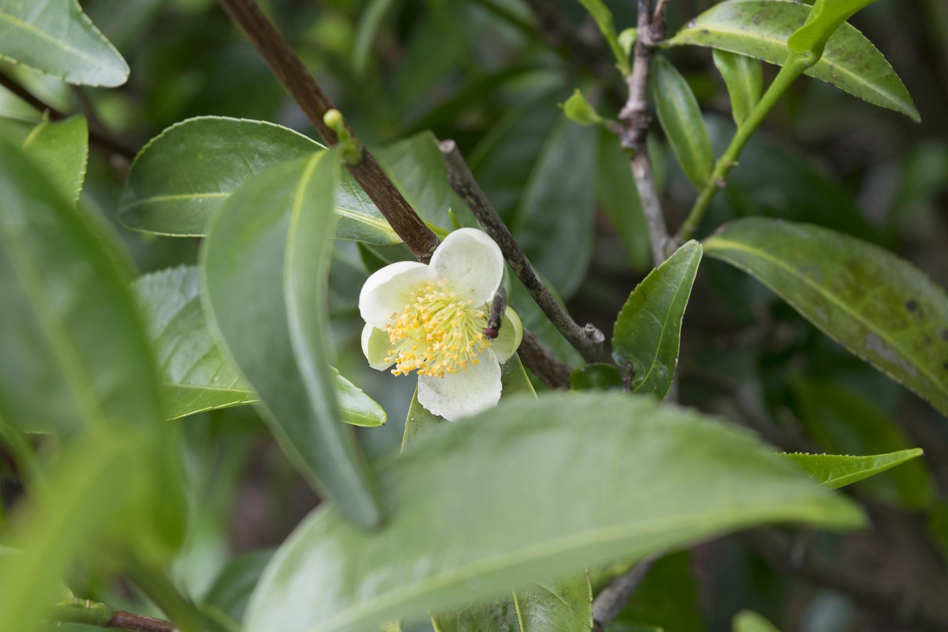 Teebaumöl Tiroler Kräuterhof