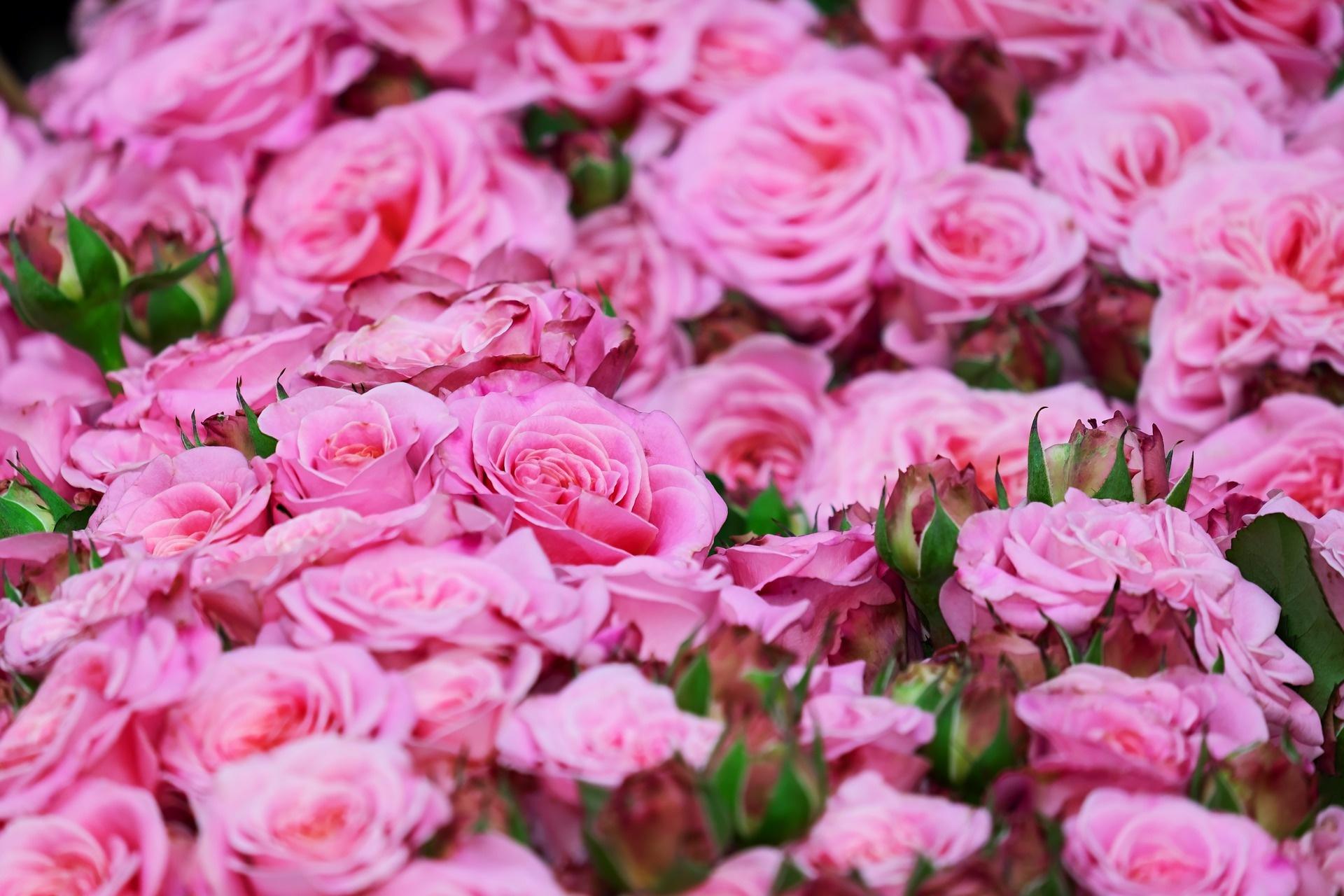 Rosenöl aus Damaszenerrose vom Tiroler Kräuterhof