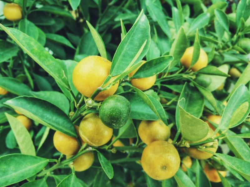 Zitronen Zitronenöl