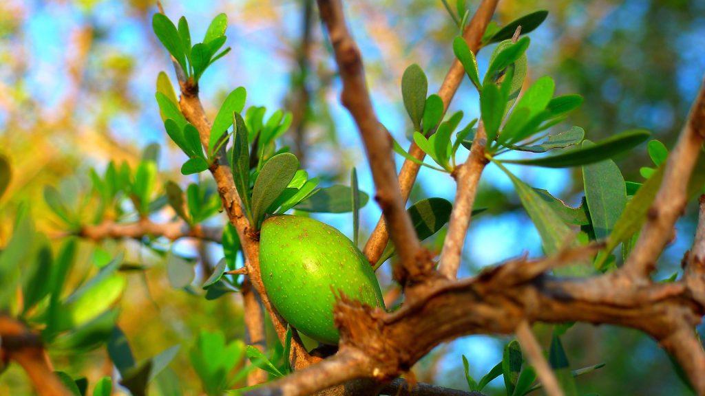 Argan Frucht aus Marokko